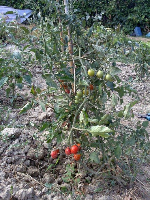 Pomodori ciliegini clandestini regolarizzati 2
